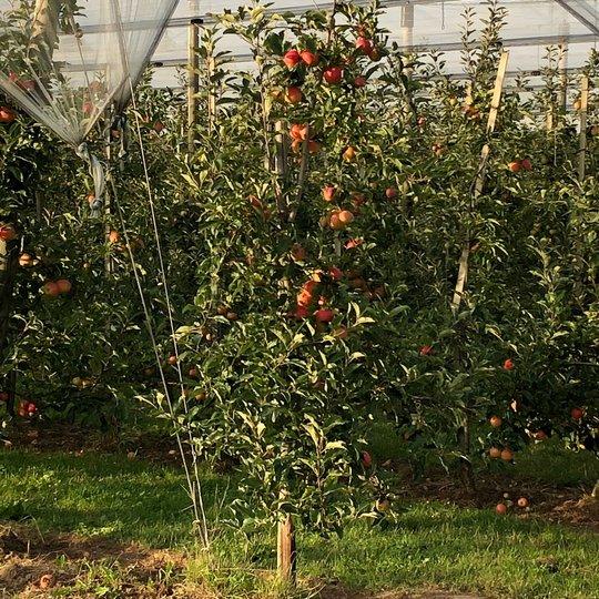 Apfelplantage, Foto: Gemeinde Alfter